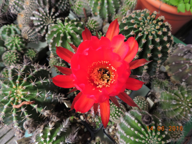 Cacti and Sukkulent in Köln, every day new flowers in the greenhouse Part 149 Bild_756