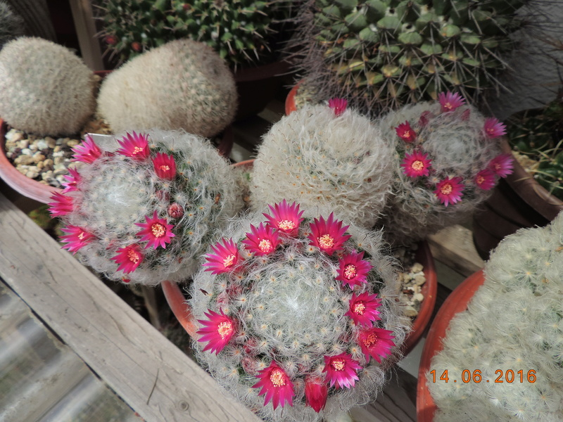 Cacti and Sukkulent in Köln, every day new flowers in the greenhouse Part 149 Bild_757
