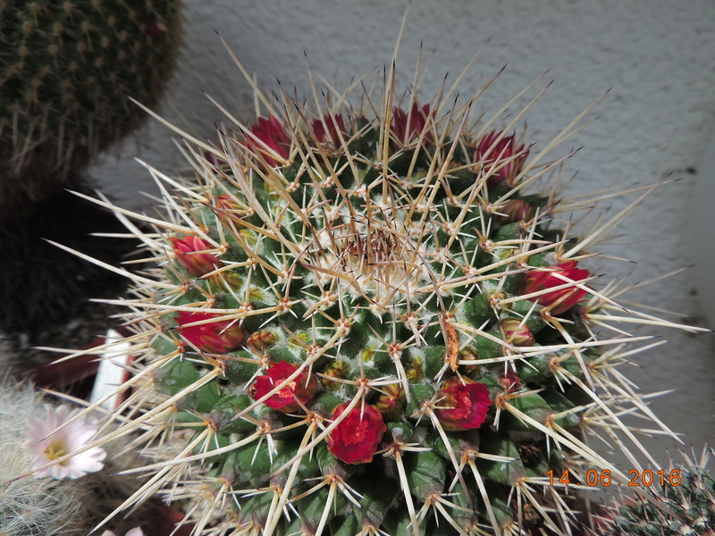 Cacti and Sukkulent in Köln, every day new flowers in the greenhouse Part 149 Bild_758