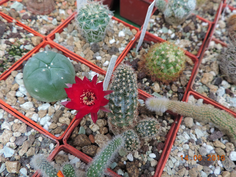 Cacti and Sukkulent in Köln, every day new flowers in the greenhouse Part 149 Bild_759