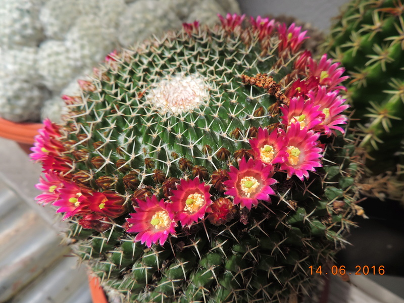 Cacti and Sukkulent in Köln, every day new flowers in the greenhouse Part 149 Bild_760