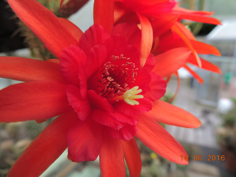 Cacti and Sukkulent in Köln, every day new flowers in the greenhouse Part 149 Bild_761