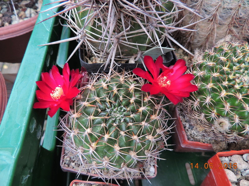 Cacti and Sukkulent in Köln, every day new flowers in the greenhouse Part 149 Bild_762