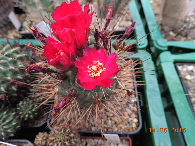 Cacti and Sukkulent in Köln, every day new flowers in the greenhouse Part 149 Bild_763