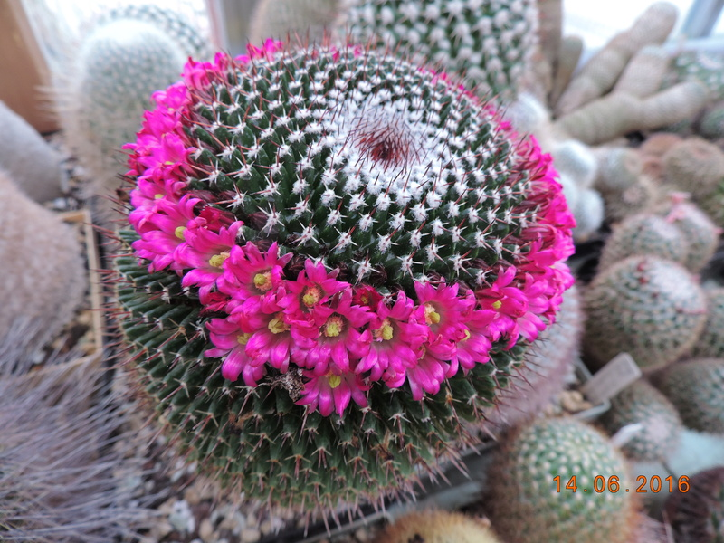 Cacti and Sukkulent in Köln, every day new flowers in the greenhouse Part 149 Bild_765