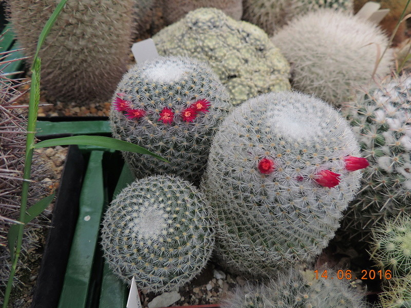 Cacti and Sukkulent in Köln, every day new flowers in the greenhouse Part 149 Bild_766
