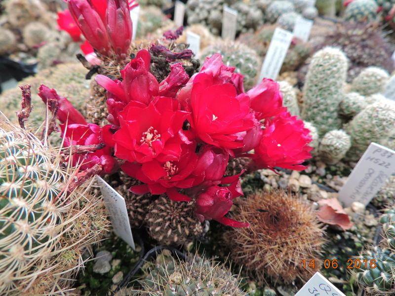 Cacti and Sukkulent in Köln, every day new flowers in the greenhouse Part 149 Bild_767