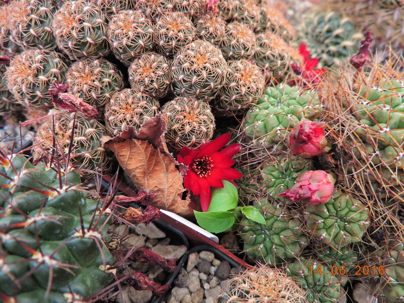 Cacti and Sukkulent in Köln, every day new flowers in the greenhouse Part 149 Bild_768
