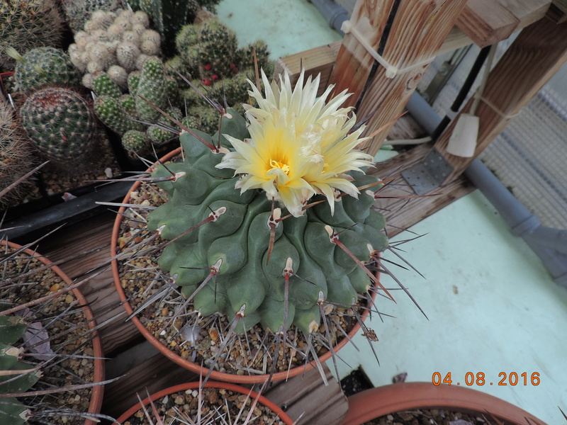 Cacti and Sukkulent in Köln, every day new flowers in the greenhouse Part 149 Bild_776