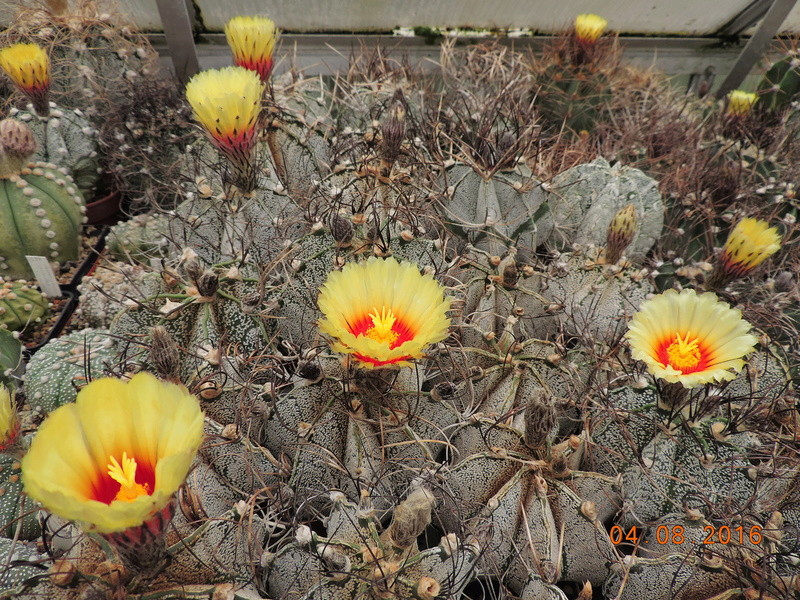 Cacti and Sukkulent in Köln, every day new flowers in the greenhouse Part 149 Bild_780