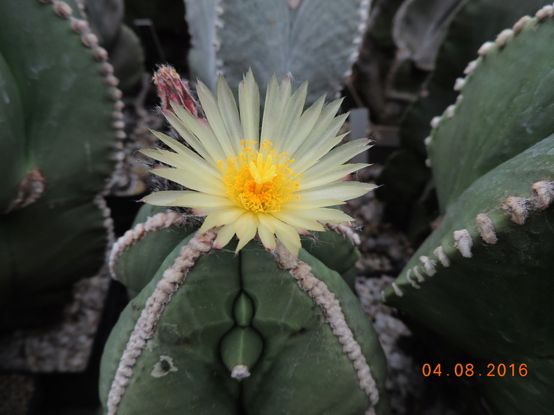 Cacti and Sukkulent in Köln, every day new flowers in the greenhouse Part 149 Bild_781