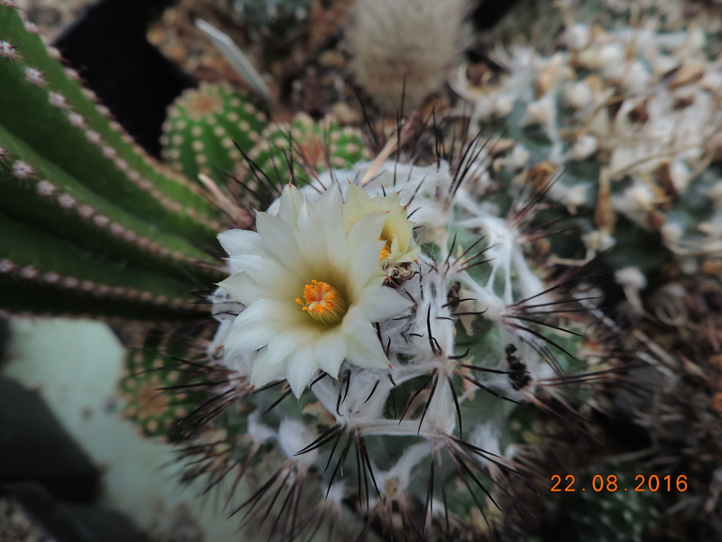 Cacti and Sukkulent in Köln, every day new flowers in the greenhouse Part 149 Bild_917