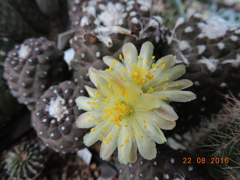 Cacti and Sukkulent in Köln, every day new flowers in the greenhouse Part 149 Bild_918