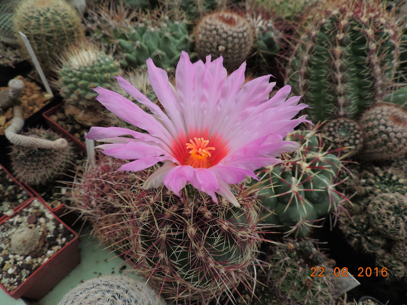 Cacti and Sukkulent in Köln, every day new flowers in the greenhouse Part 149 Bild_920
