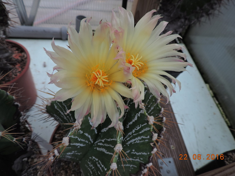 Cacti and Sukkulent in Köln, every day new flowers in the greenhouse Part 149 Bild_921