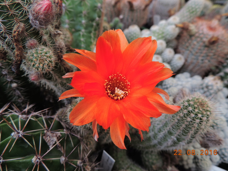 Cacti and Sukkulent in Köln, every day new flowers in the greenhouse Part 149 Bild_922