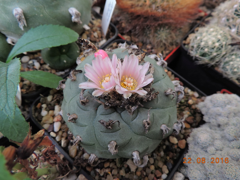 Cacti and Sukkulent in Köln, every day new flowers in the greenhouse Part 149 Bild_923
