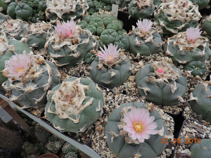 Cacti and Sukkulent in Köln, every day new flowers in the greenhouse Part 149 Bild_926