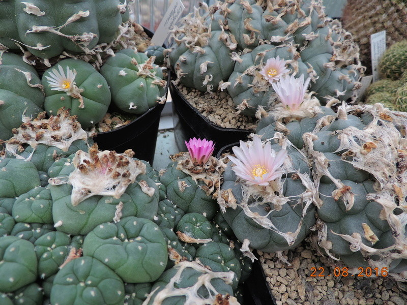 Cacti and Sukkulent in Köln, every day new flowers in the greenhouse Part 149 Bild_927