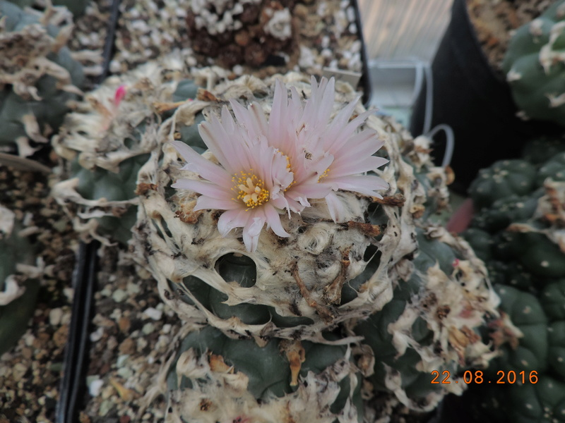 Cacti and Sukkulent in Köln, every day new flowers in the greenhouse Part 149 Bild_929