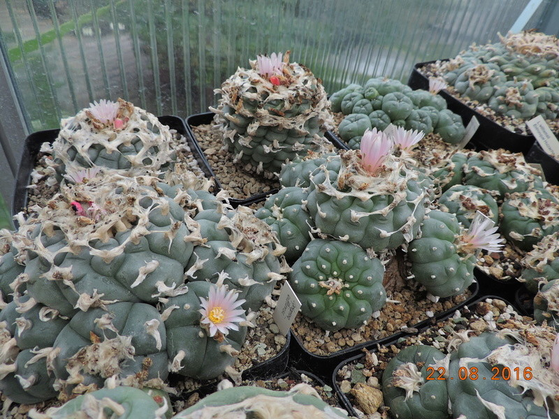 Cacti and Sukkulent in Köln, every day new flowers in the greenhouse Part 149 Bild_930