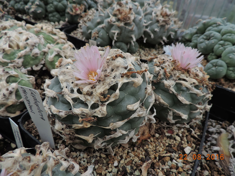 Cacti and Sukkulent in Köln, every day new flowers in the greenhouse Part 149 Bild_932