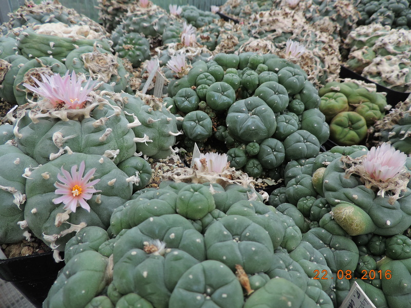 Cacti and Sukkulent in Köln, every day new flowers in the greenhouse Part 149 Bild_933