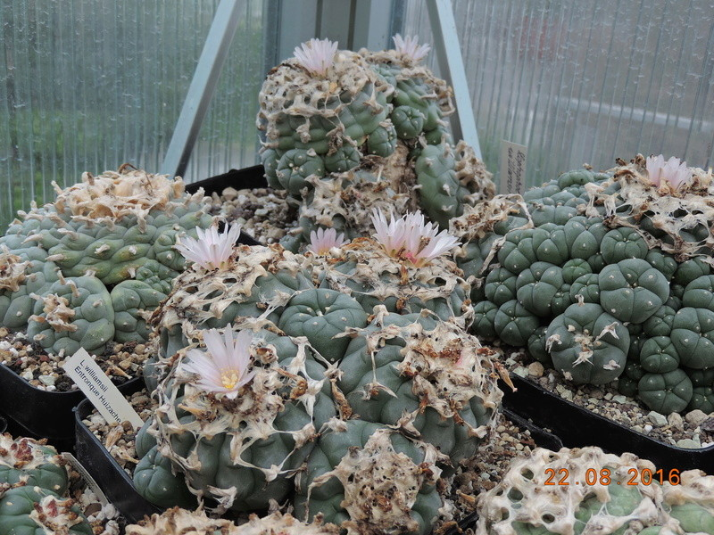 Cacti and Sukkulent in Köln, every day new flowers in the greenhouse Part 149 Bild_934