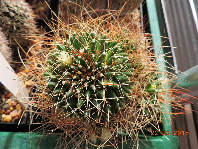 Cacti and Sukkulent in Köln, every day new flowers in the greenhouse Part 149 Bild_937