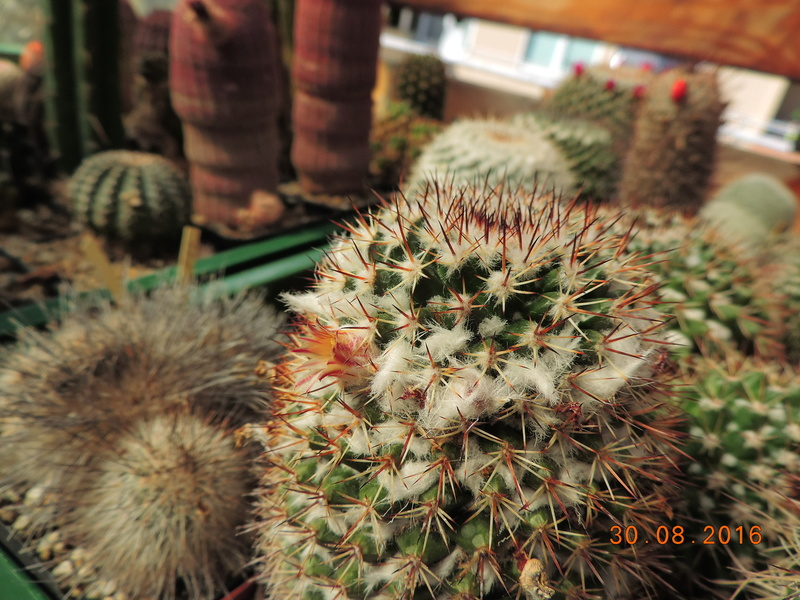 Cacti and Sukkulent in Köln, every day new flowers in the greenhouse Part 150 Bild_970