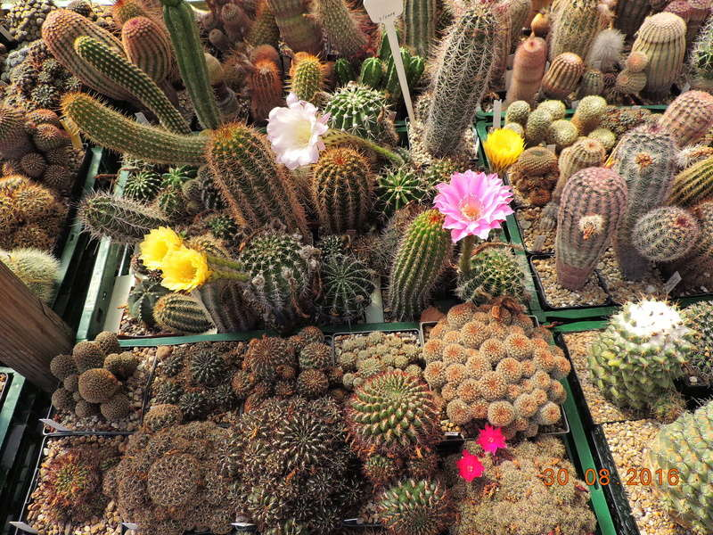 Cacti and Sukkulent in Köln, every day new flowers in the greenhouse Part 150 Bild_971