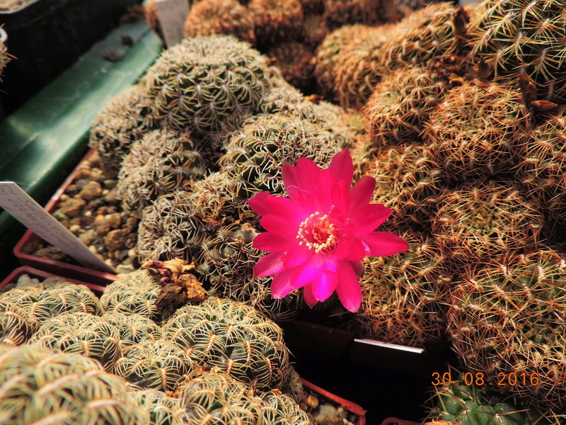 Cacti and Sukkulent in Köln, every day new flowers in the greenhouse Part 150 Bild_976