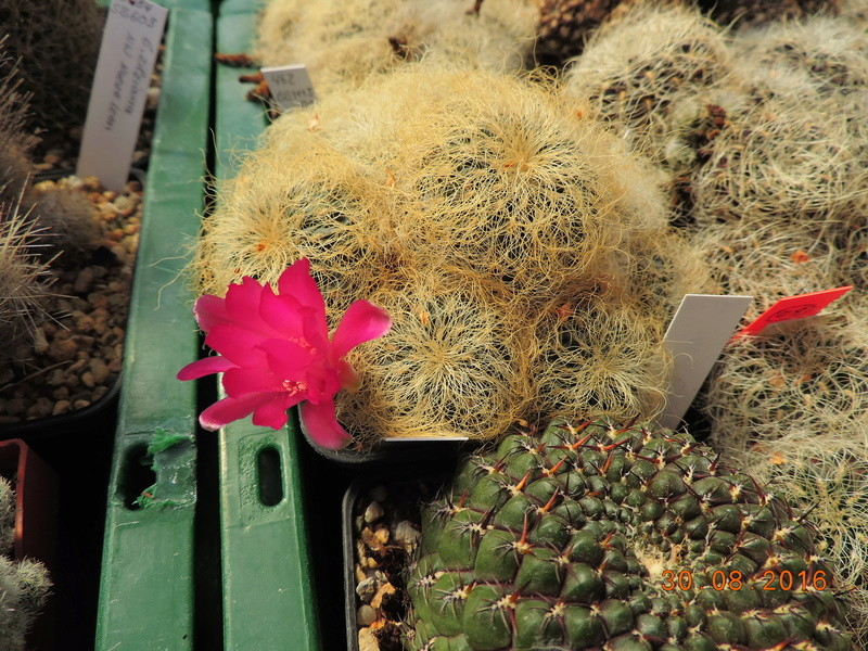 Cacti and Sukkulent in Köln, every day new flowers in the greenhouse Part 150 Bild_978