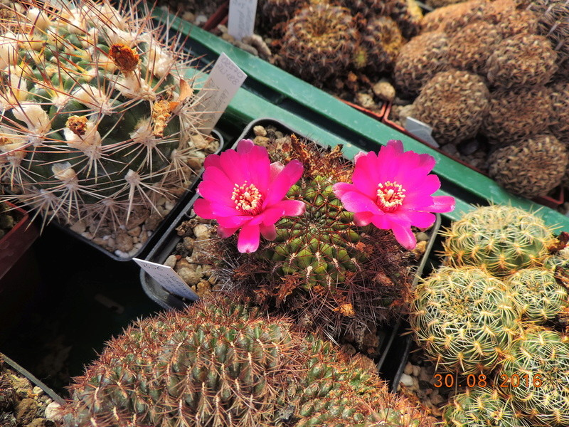 Cacti and Sukkulent in Köln, every day new flowers in the greenhouse Part 150 Bild_979