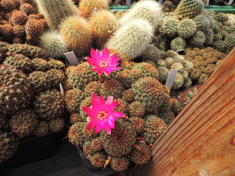 Cacti and Sukkulent in Köln, every day new flowers in the greenhouse Part 150 Bild_982