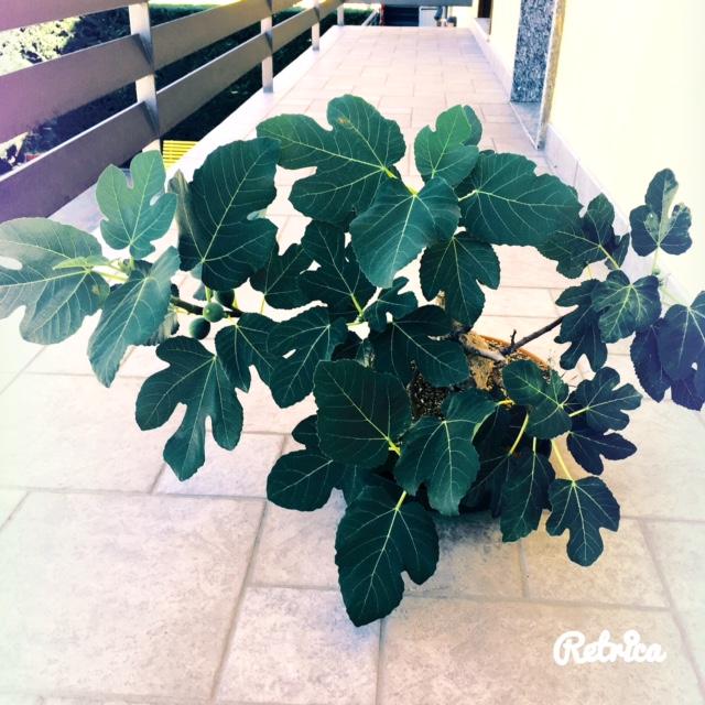 Yamadori di Ficus carica, new entry in collezione... Fullsi10