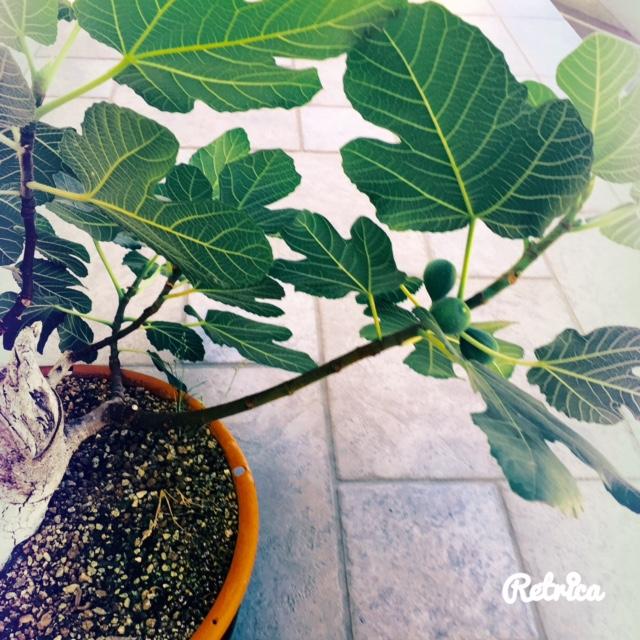 Yamadori di Ficus carica, new entry in collezione... Fullsi11