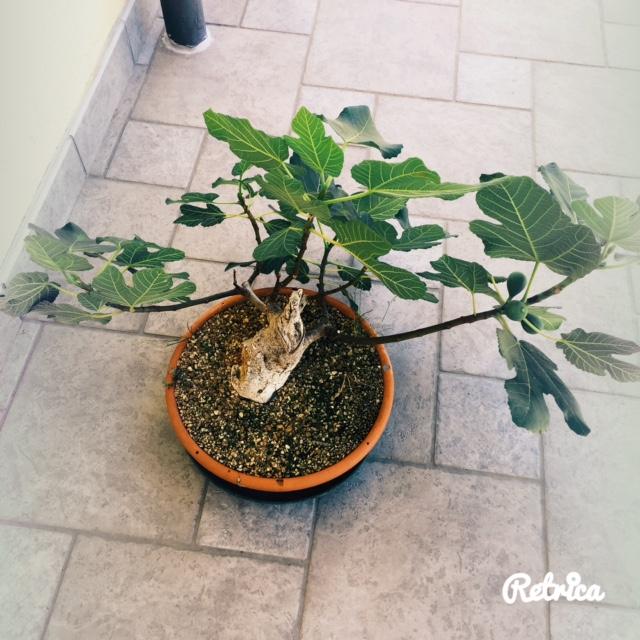 Yamadori di Ficus carica, new entry in collezione... Img_0410