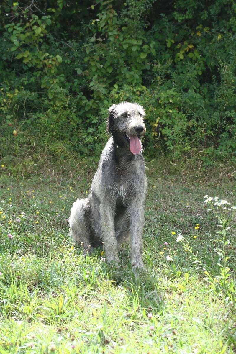 L'Irish Wolfhound Img_1312