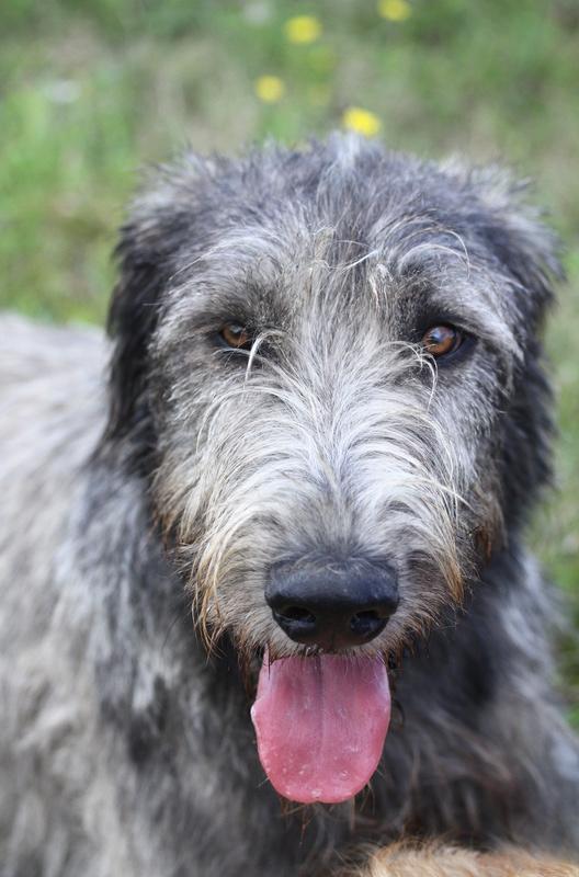 L'Irish Wolfhound Img_1314