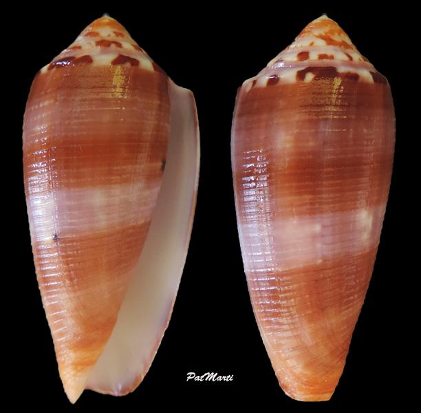 Conus (Pionoconus) circumcisus  Born, 1778 - Page 4 Conus-10