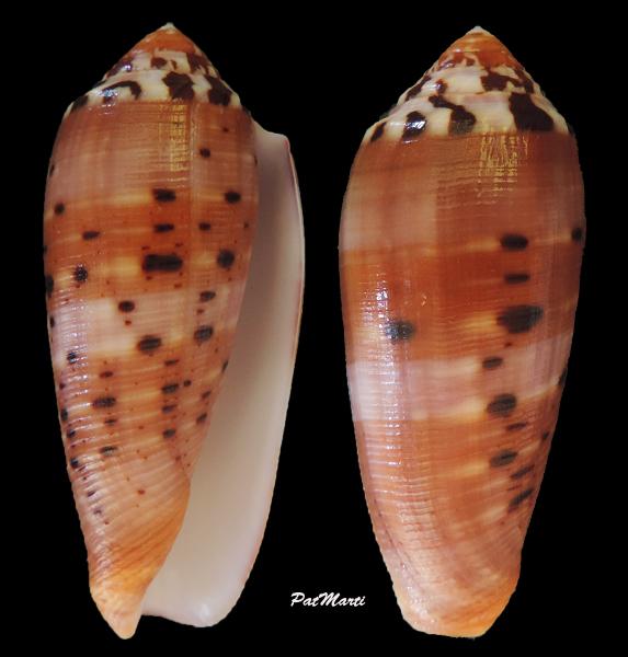 Conus (Pionoconus) circumcisus  Born, 1778 - Page 4 Conus-11
