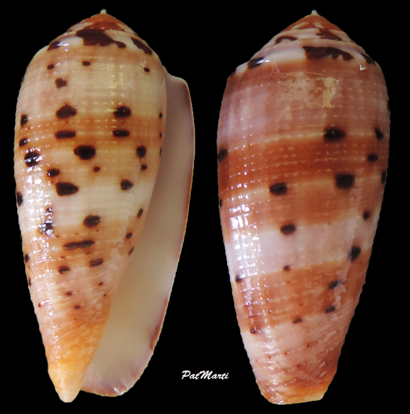 Conus (Pionoconus) circumcisus  Born, 1778 - Page 4 Conus-12