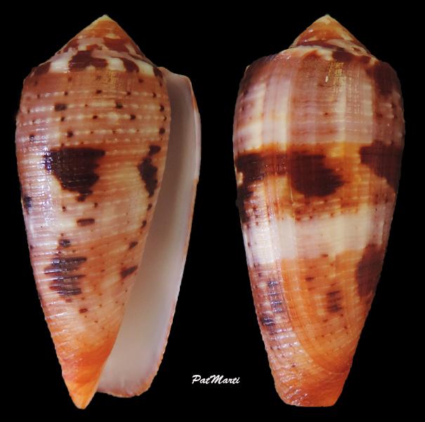Conus (Pionoconus) circumcisus  Born, 1778 - Page 4 Conus-13