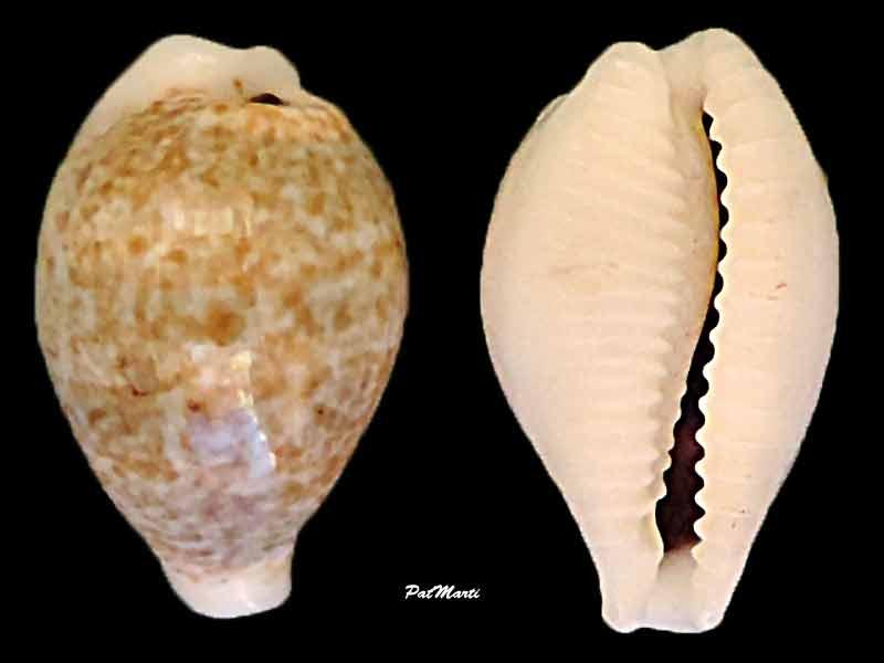 Eclogavena dayritiana - (C. N. Cate, 1963) Cyp-da10