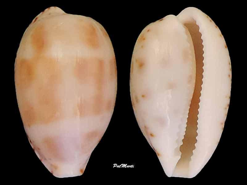 Notocypraea piperita - (Gray, 1825) Cyp-pi10