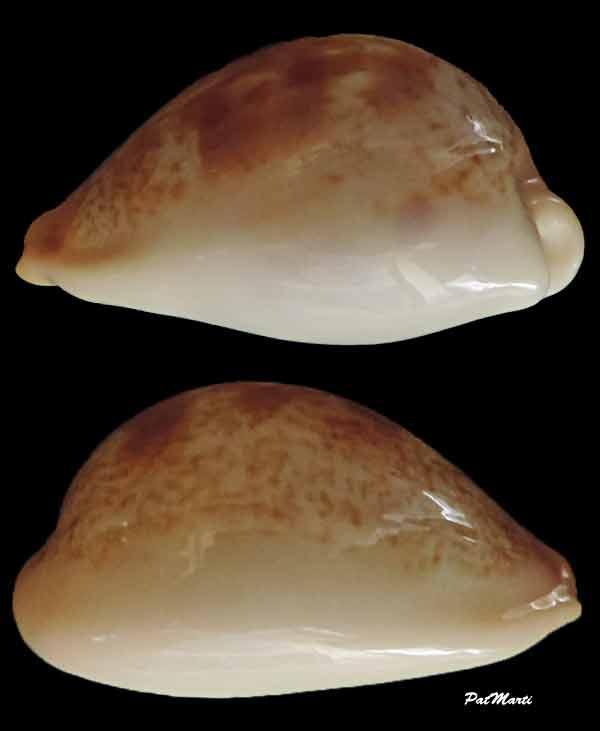 Erronea subviridis vaticina - (Irédale 1931) Cyp-su10