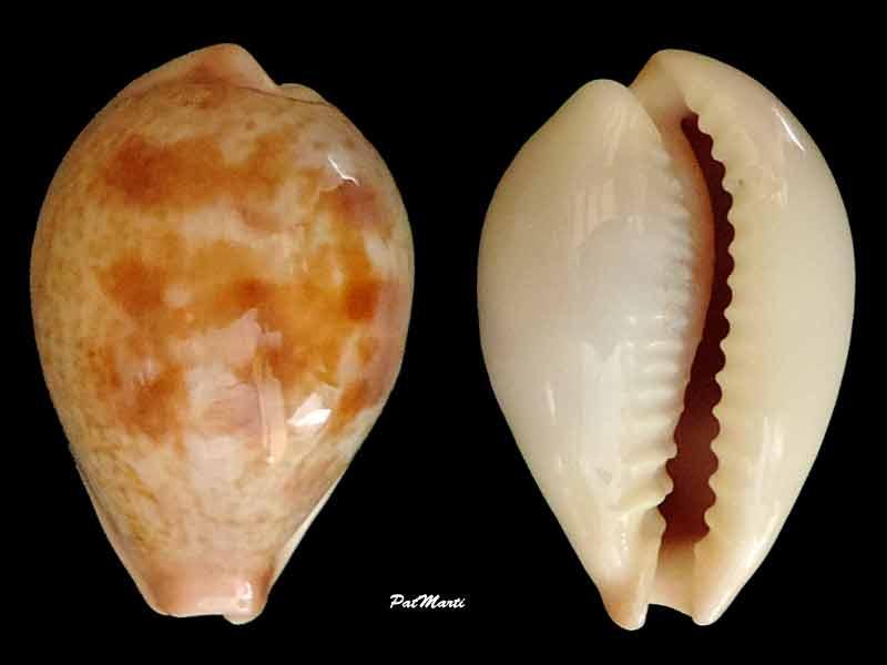 Erronea subviridis vaticina - (Irédale 1931) Cyp-su11