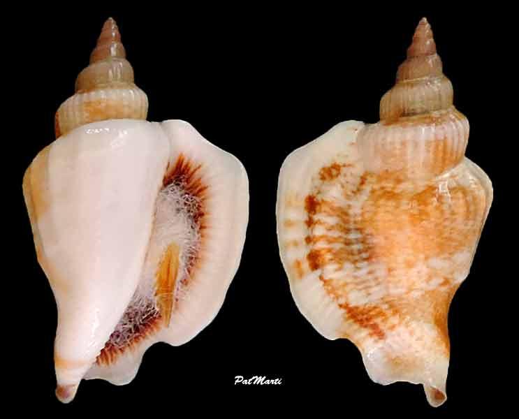 Dolomena pulchella - (Reeve, 1851) Dolome10