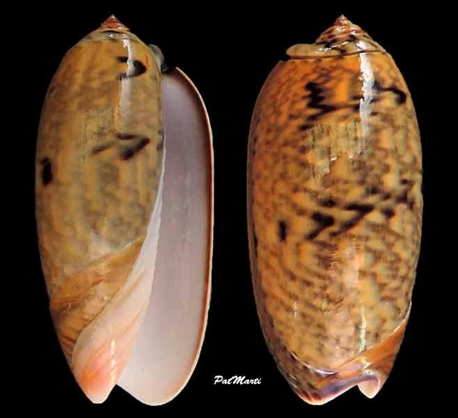 Viduoliva westralis (Petuch & Sargent, 1986) - Worms = Oliva westralis Petuch & Sargent, 1986 Oliva-12